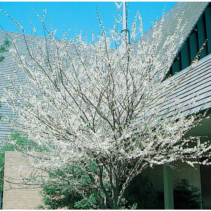 6.08-Gallon Texas White Redbud Flowering Tree (L1030)
