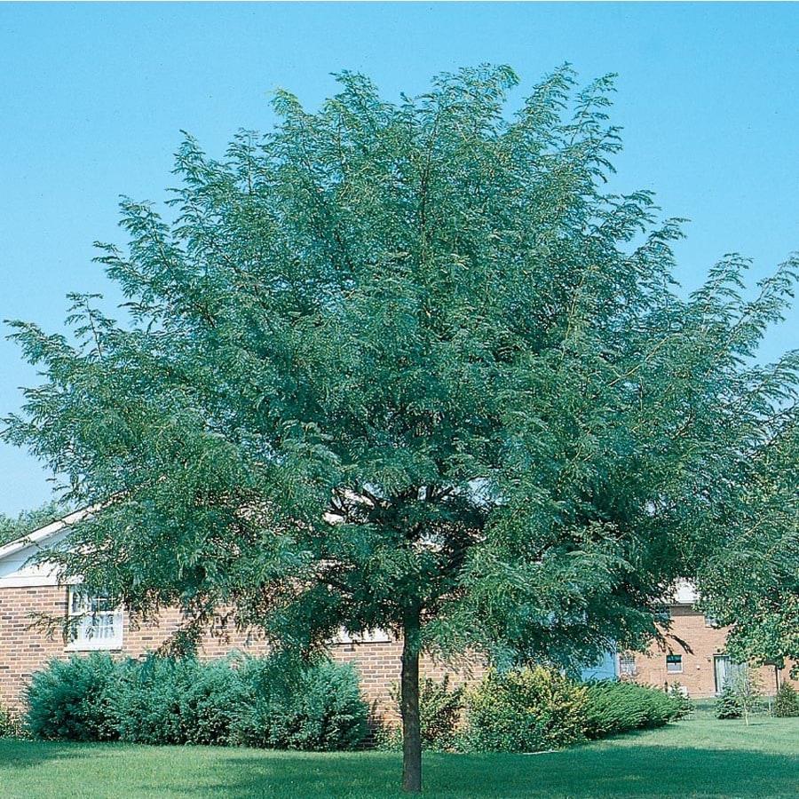 13.35-Gallon Shademaster Honeylocust Shade Tree (L1043)