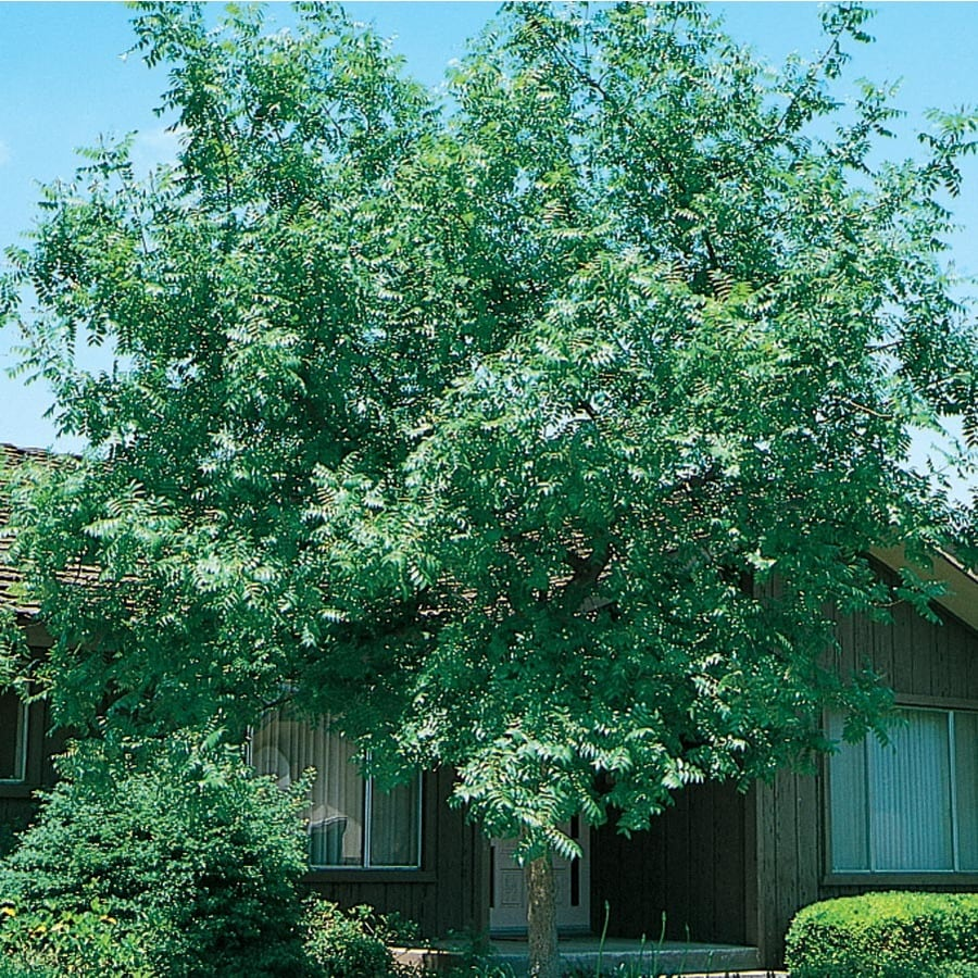 27-Gallon Chinese Pistache Shade Tree (L1089)