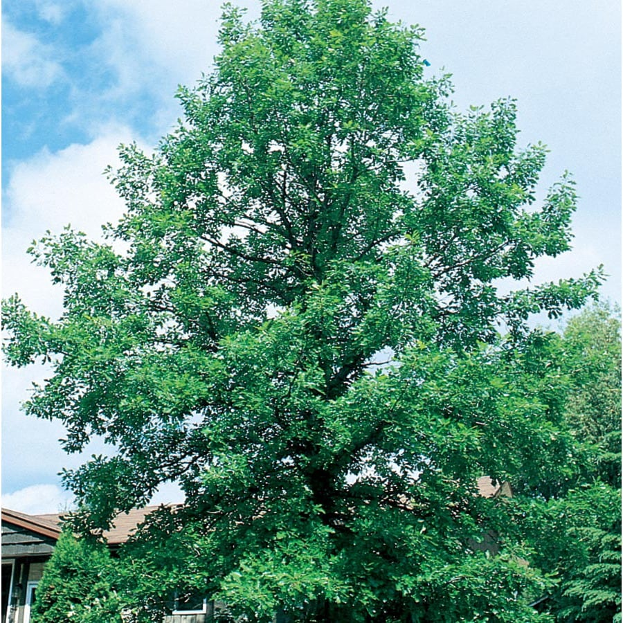 6.08-Gallon Bur Oak Shade Tree (L1102)