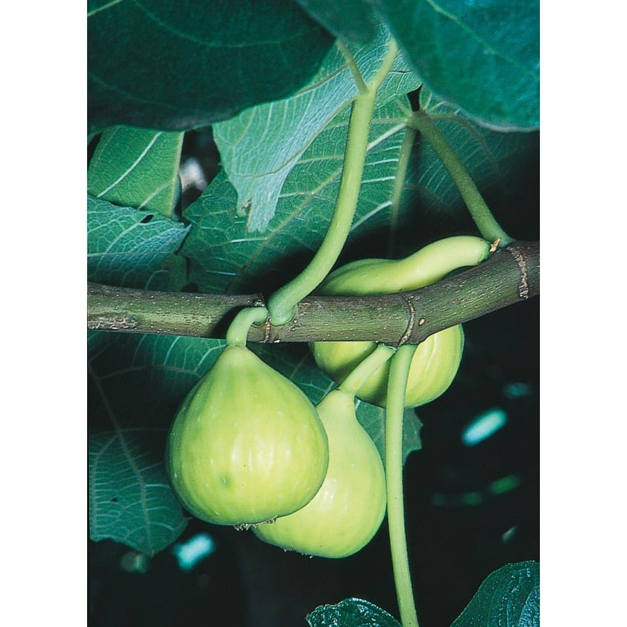3.25-Gallon Kadota Fig Tree (L1181)