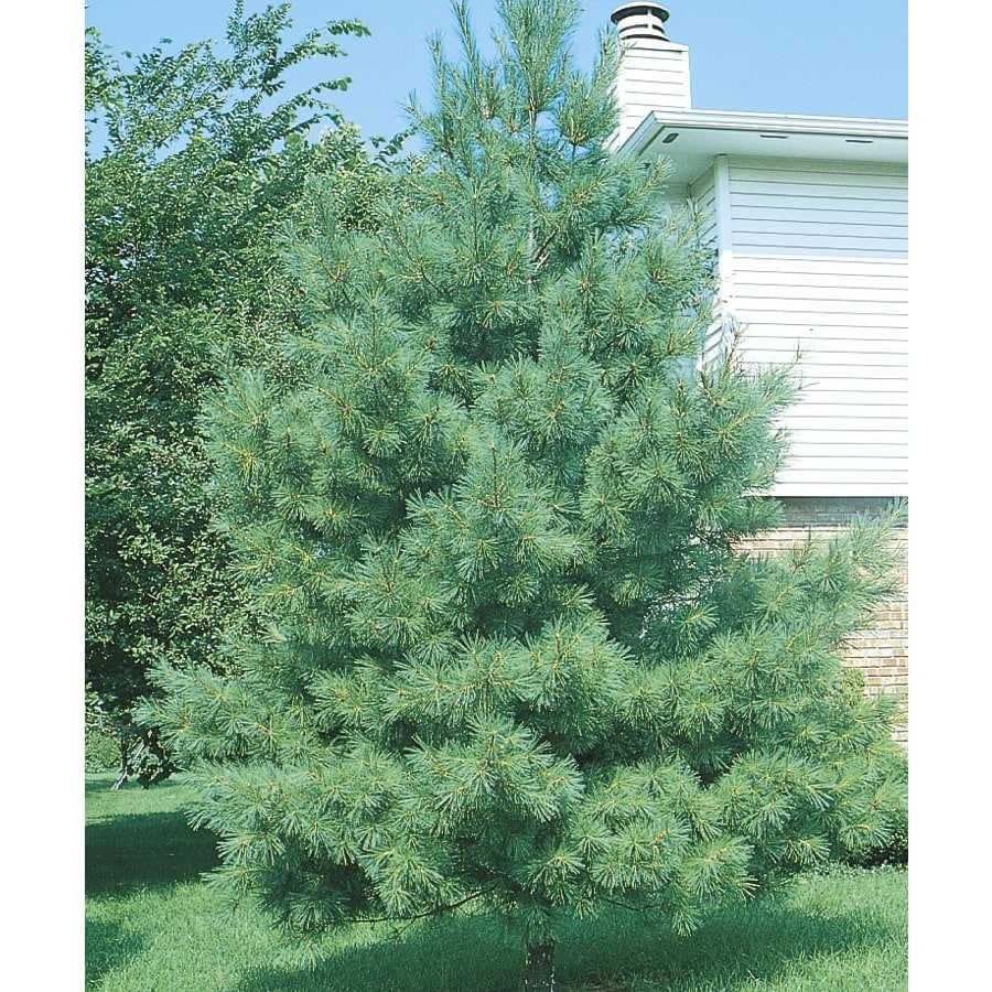 Shop eastern white pine screening tree l at lowes