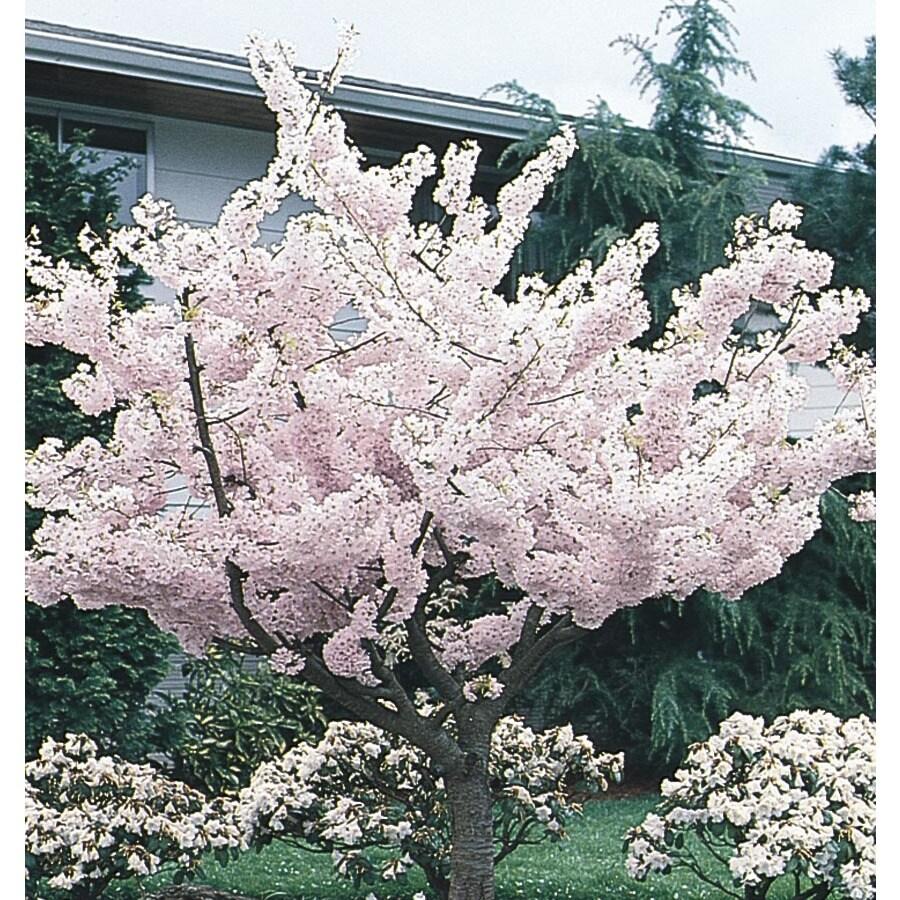 1.75-in Yoshino Flowering Cherry Flowering Tree (L3234)
