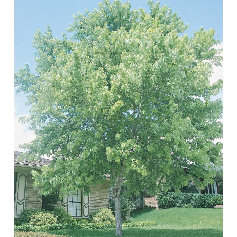 1.75-in Silver Maple Shade Tree (L1124)