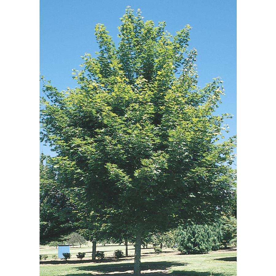 1.75-in Red Maple Shade Tree (L1144)