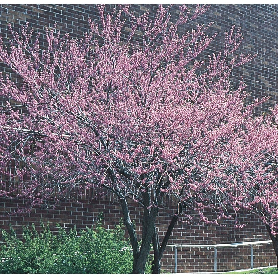 1.5-in Redbud Flowering Tree (L11838)