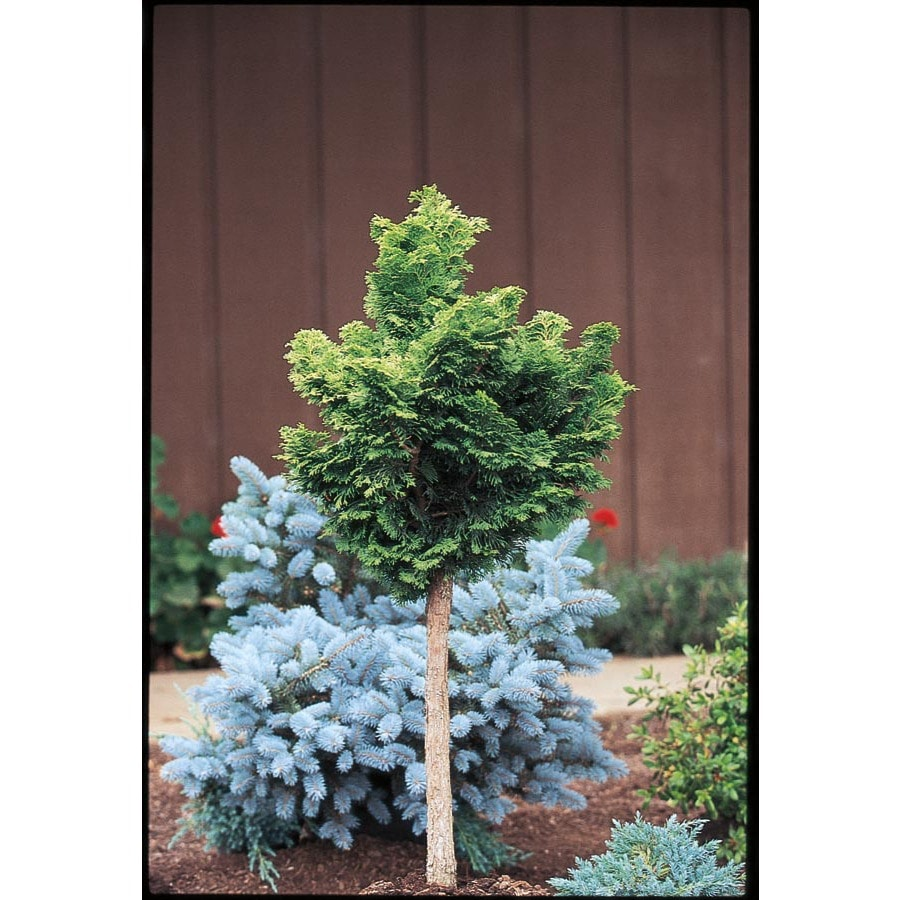 2.25-Gallon Dwarf Hinoki Falsecypress Standard Feature Shrub (L22019)