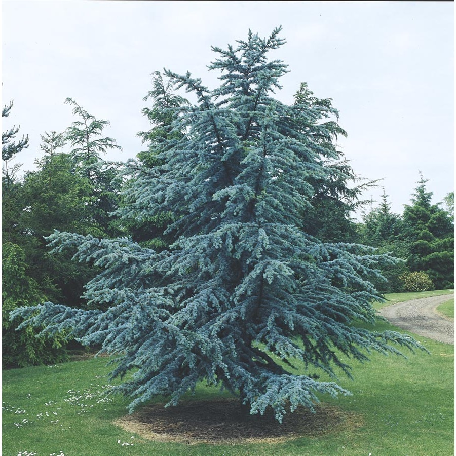 8.75-Gallon Blue Atlas Cedar Feature Tree (L4673)