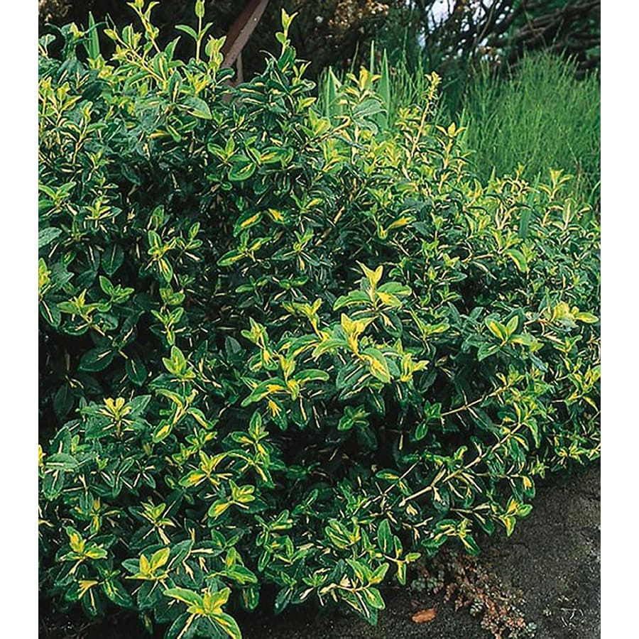 1.5-Gallon Moonshadow Euonymus Accent Shrub (L7692)