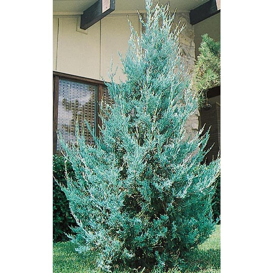 8.75-Gallon Wichita Blue Juniper Feature Shrub (L3789)