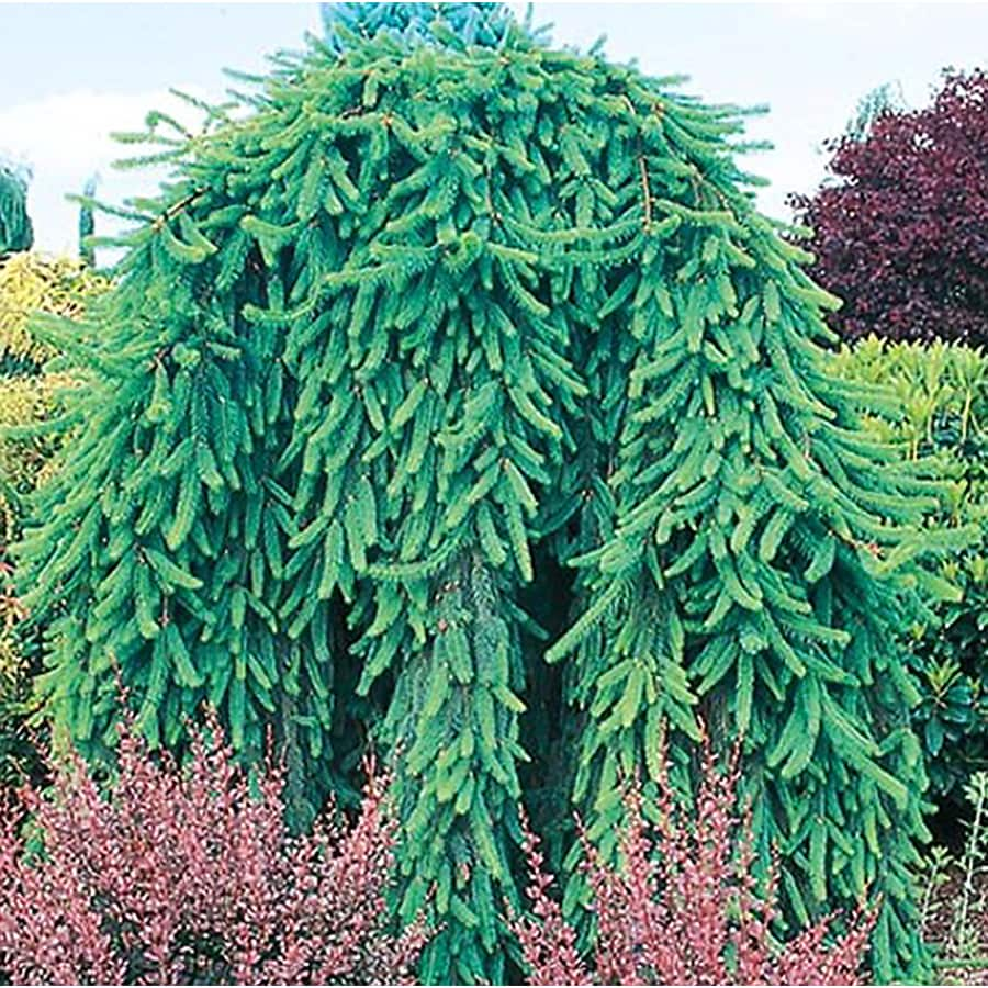 2.25-Gallon Weeping Norway Spruce Feature Shrub (L4097)