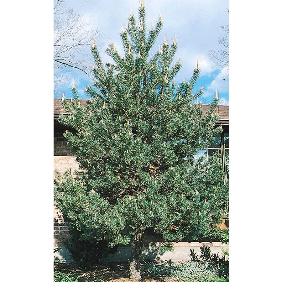 2.25-Gallon Scotch Pine Feature Tree (L3939)
