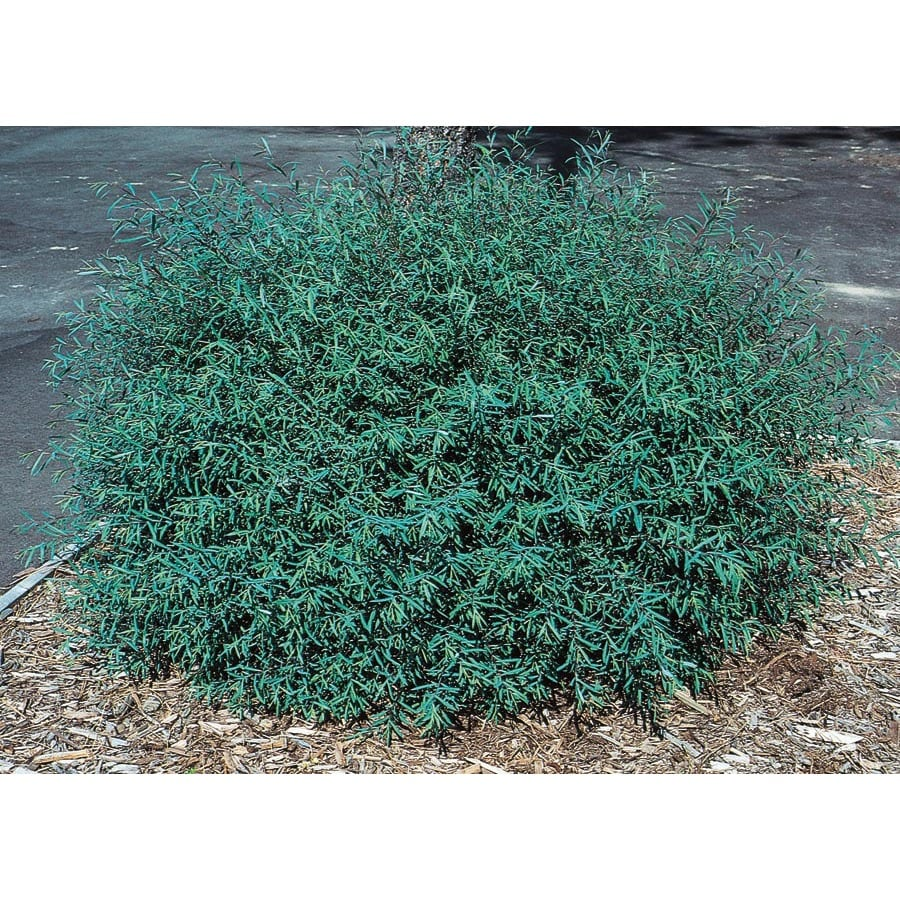 2.5-Quart Dwarf Purple Osier Willow Accent Shrub (L4239)
