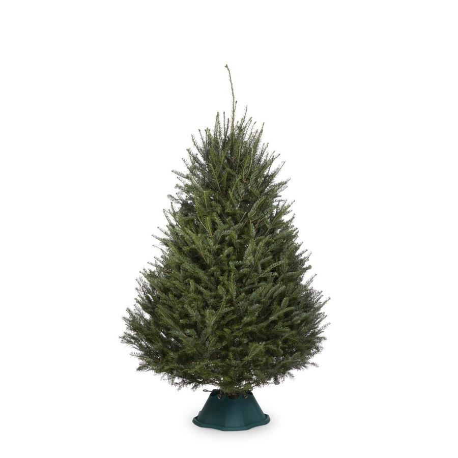 6 8 ft fresh balsam fir christmas tree - 8 Ft Christmas Tree