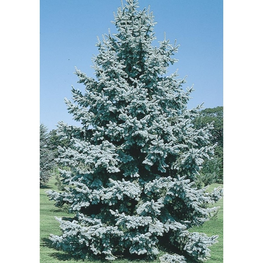 11.1-Gallon Colorado Blue Spruce Feature Tree (L3937)