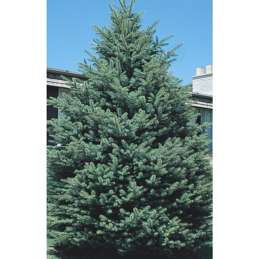 11.1-Gallon Black Hills Spruce Feature Tree (L4531)