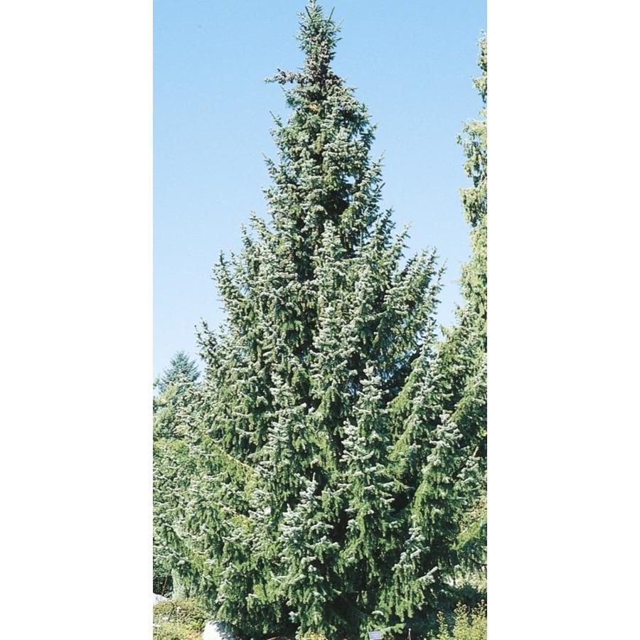 11.1-Gallon Serbian Spruce Feature Tree (L8655)