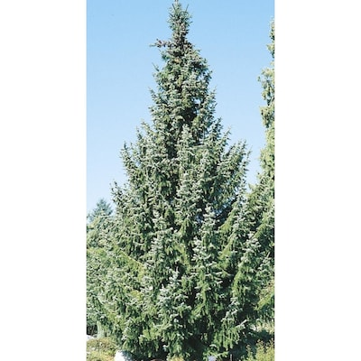 11 1-Gallon Serbian Spruce Feature Tree (L8655) at Lowes com
