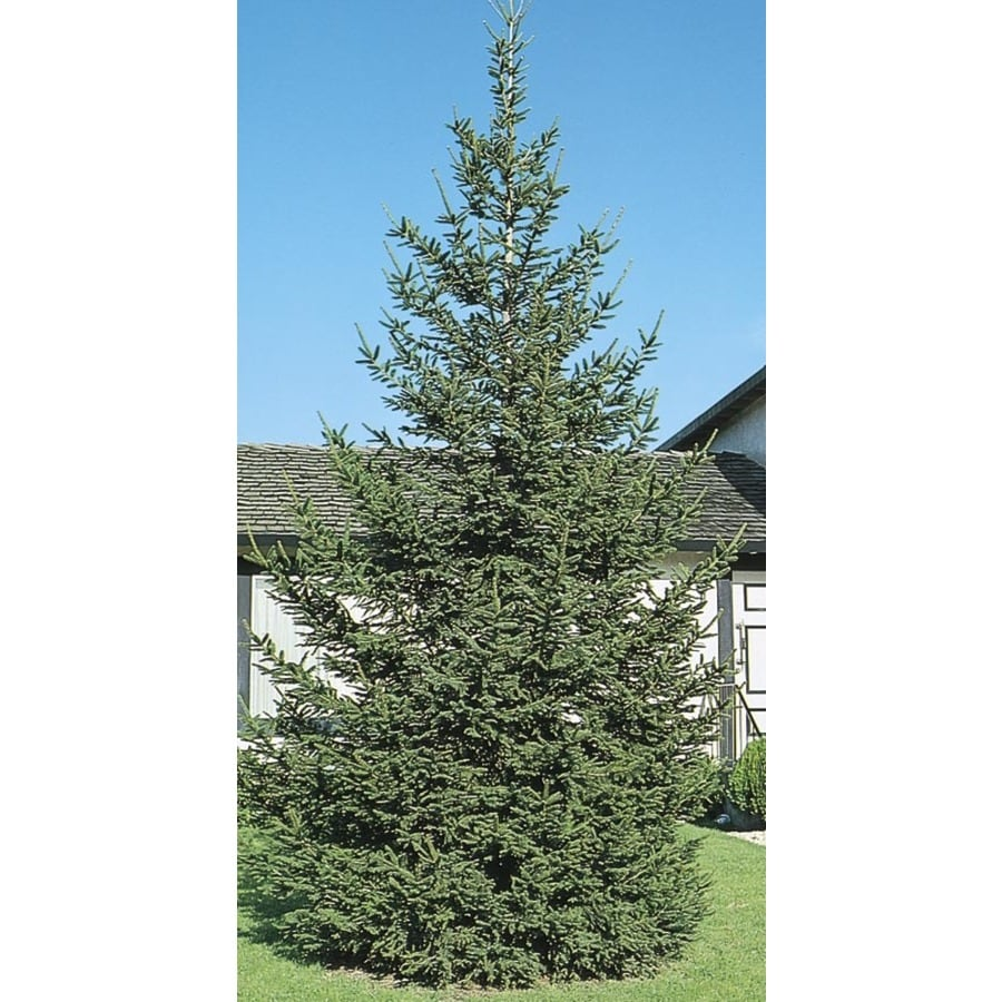 11.1-Gallon Norway Spruce Feature Tree (L1244)