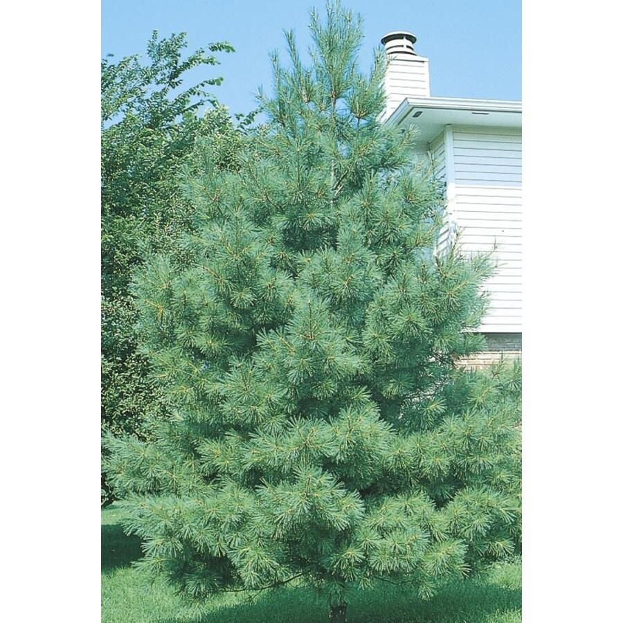 11.1-Gallon Eastern White Pine Screening Tree (L3619)