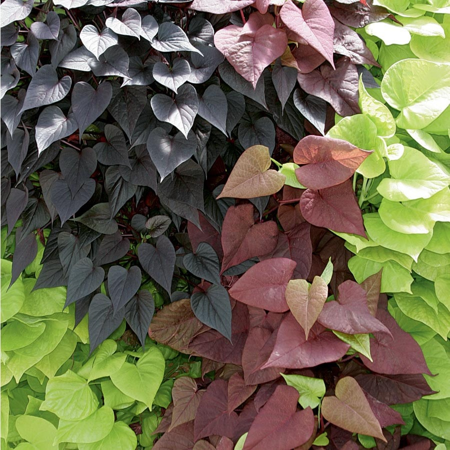 2-Gallon Sweet Potato Vine (L9884)