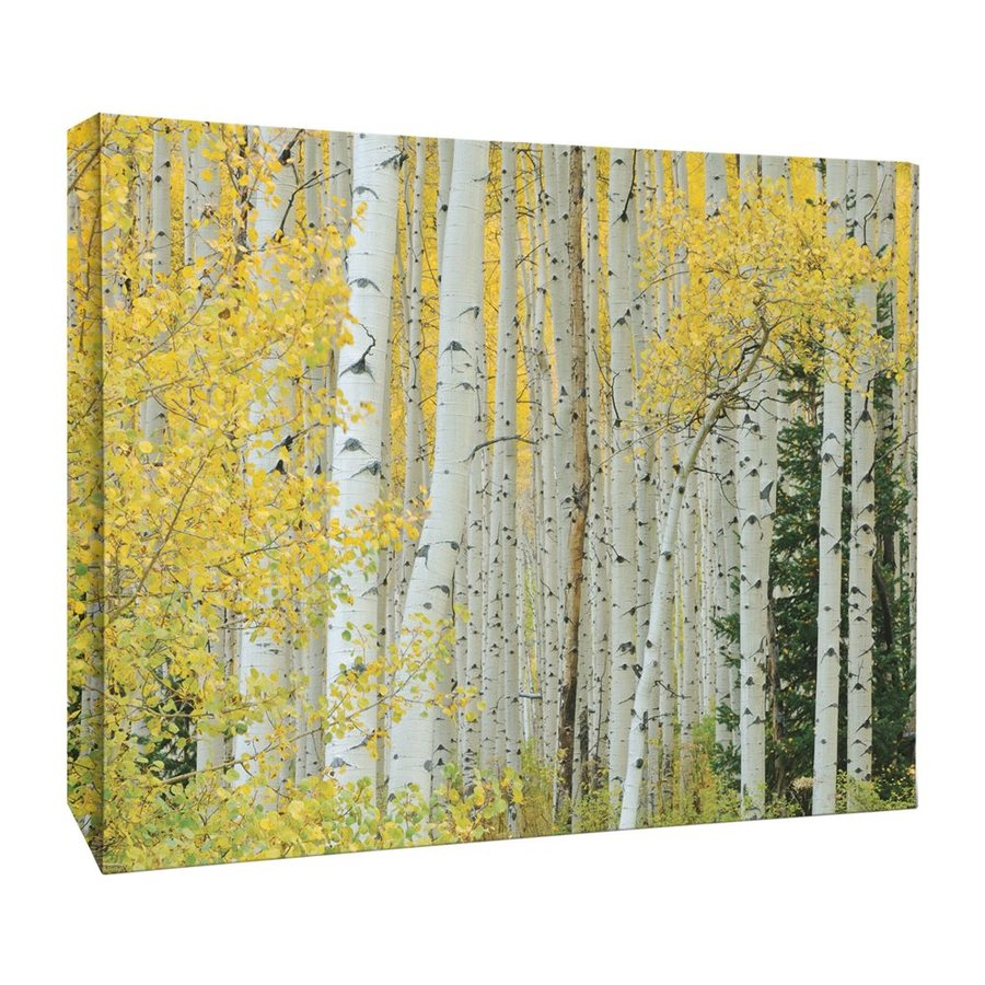 JP London 46-in W x 34-in H Frameless Canvas Golden Birch Forest Tree Trunks Print Wall Art