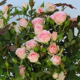 Roses At Lowes Com