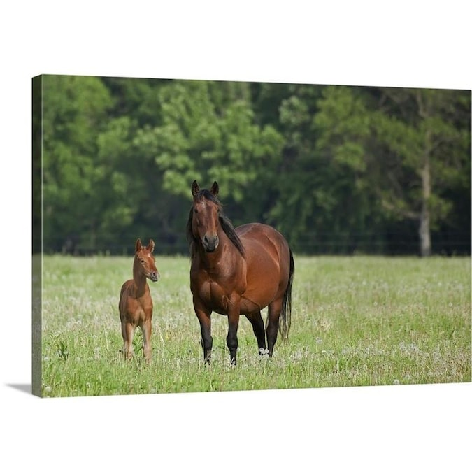 GreatBigCanvas Horse With A Colt; Winnipeg, Man In The