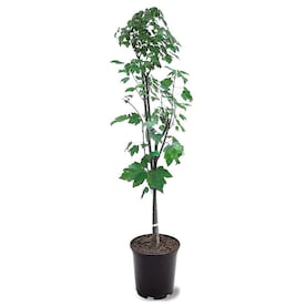 Brighter Blooms 1 Gallon 1 Gal Nellie Stevens Holly Screening Tree In Pot In The Trees Department At Lowes Com