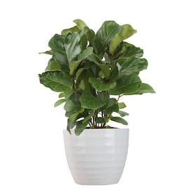 Costa Farms 6 In Golden Goddess In Ceramic Planter Ttgg In The House Plants Department At Lowes Com