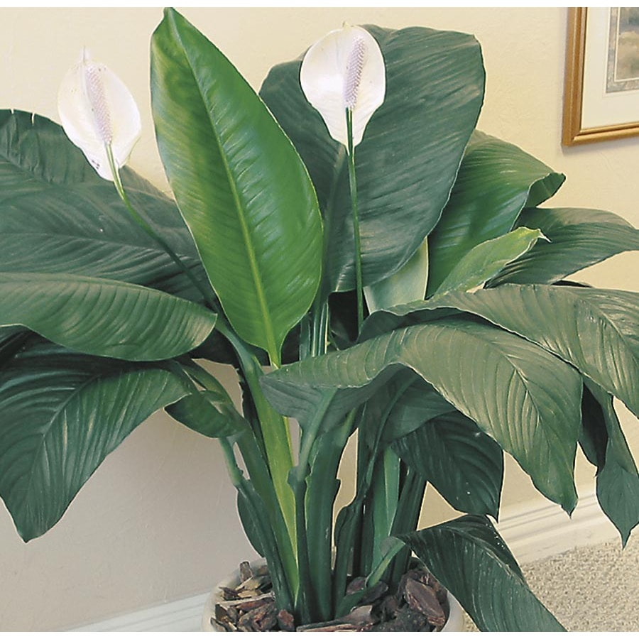 Image shown of mature plant; shop your local Lowe's for plants ...