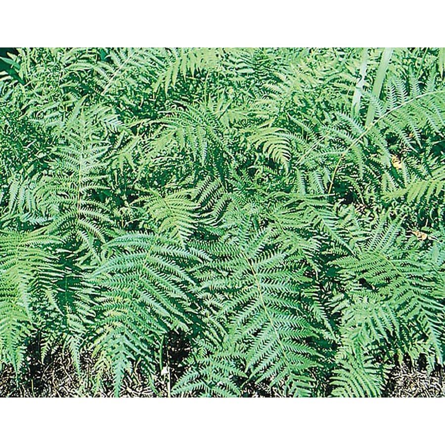 1.25-Quart Lace Fern (L3911)
