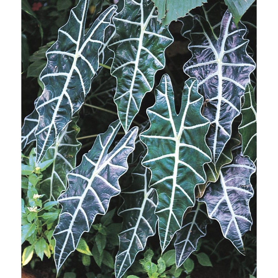 1.75-Gallon Alocasia (L14843)