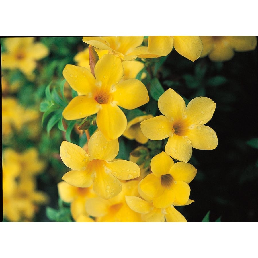 2.5-Quart Yellow Dwarf Allamanda Flowering Shrub (L14492)