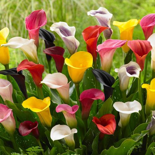 Gardens Alive 1 Pack Purple Sensation Calla Lily Bulbs At Lowes Com