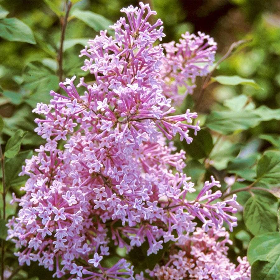 16-oz Pink Josee Re-Blooming Lilac (Syringa) Flowering Shrub in Pot