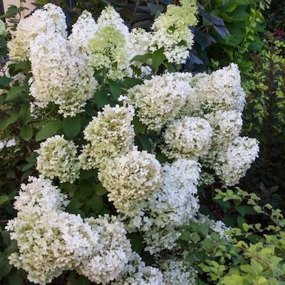 Gardens Alive 16 Oz White Proven Winners Bobo Hydrangea Flowering