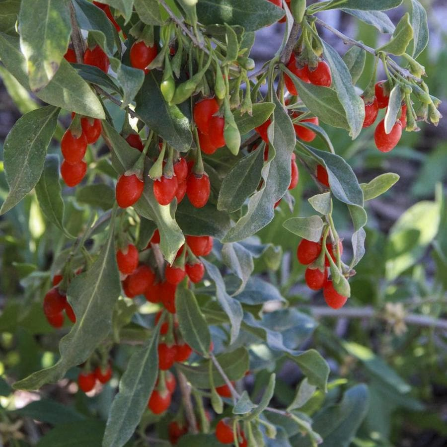 Gurney S Seed And Nursery Goji Berry Bare Root Plant In The Fruit