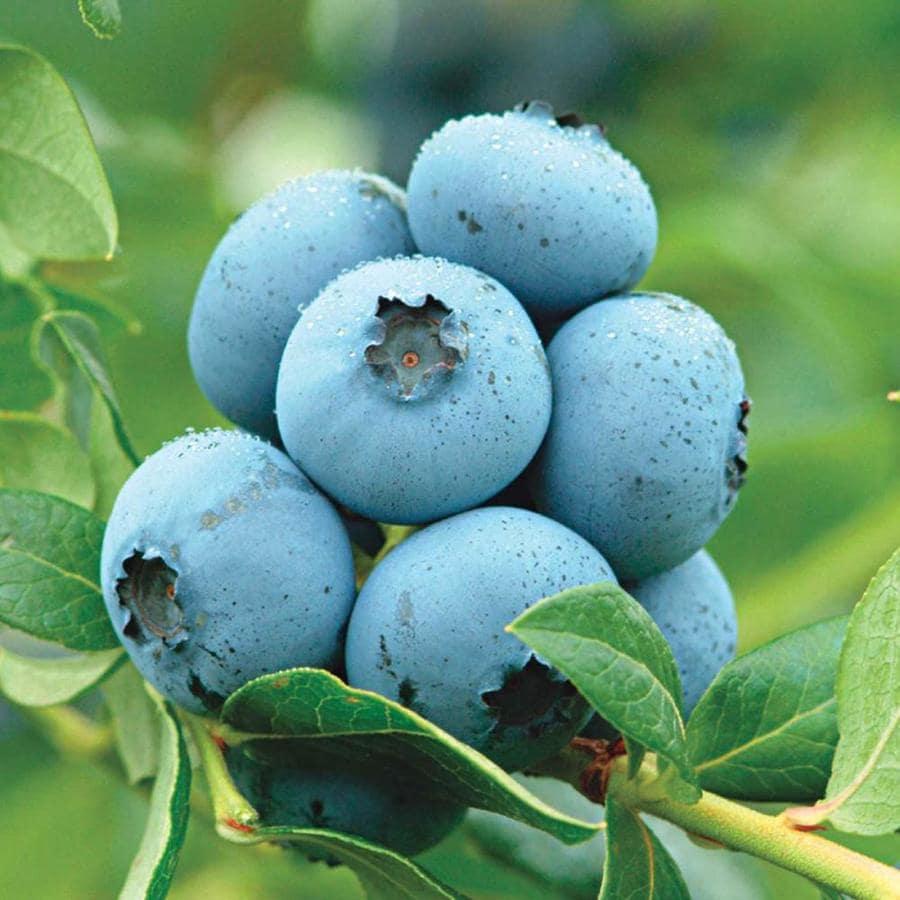 Gardens Alive! Blueberry Northland (Bareroot)