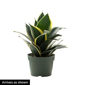 House Plants at Lowes.com on non toxic house plants, allergy house plants, long lasting house plants, durable house plants,