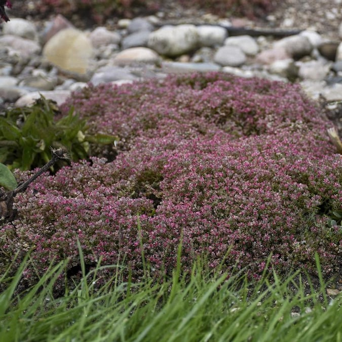 Spring Hill Nurseries Sedum Steel The Show Bareroot In The Ground Cover Department At Lowes Com