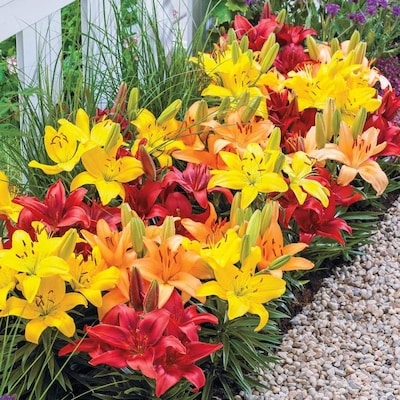 Breck S 15 Pack Asiatic Lily Dwarf Varieties Mixed Bulbs At Lowes Com