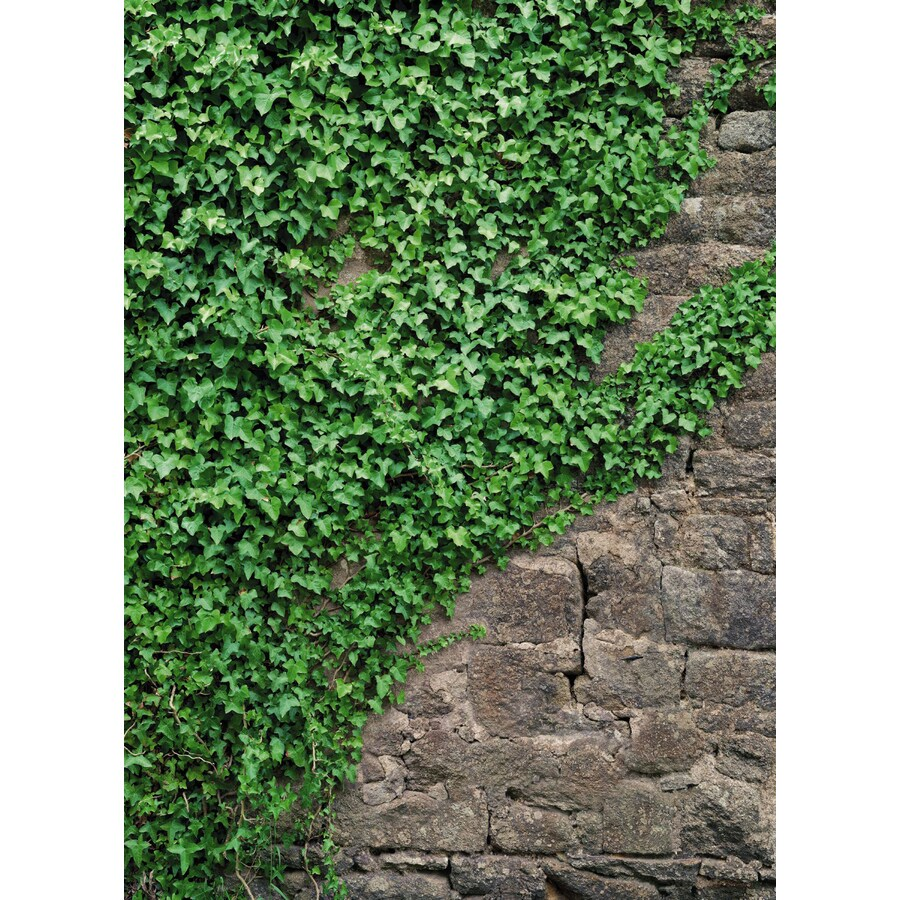 Lowes Wall Murals shop brewster wallcovering komar ivy/vines murals at lowes