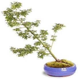 Brussel S Bonsai 10 In Weeping Willow In Ceramic Planter Dt0115jww In The House Plants Department At Lowes Com