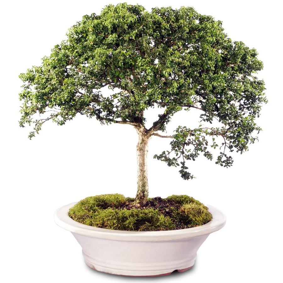 Brussel S Bonsai 12 In Dwarf Boxwood In Ceramic Planter St3718db G In The House Plants Department At Lowes Com