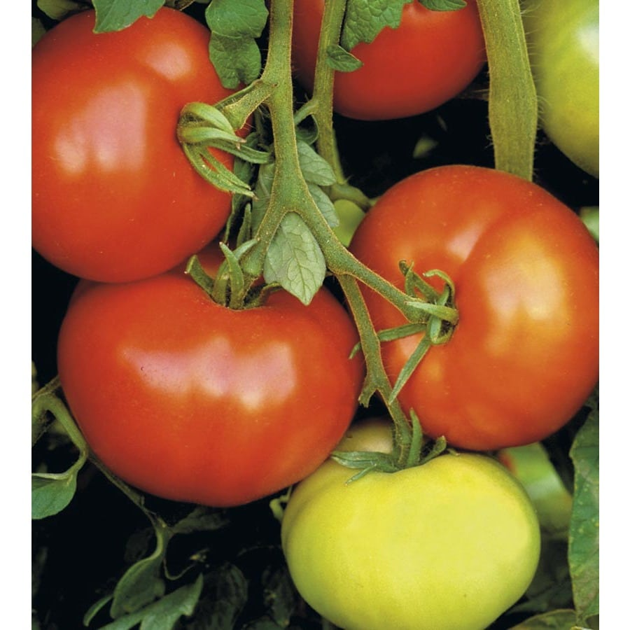 1-Quart Tomato Assortment Plant (L14917)
