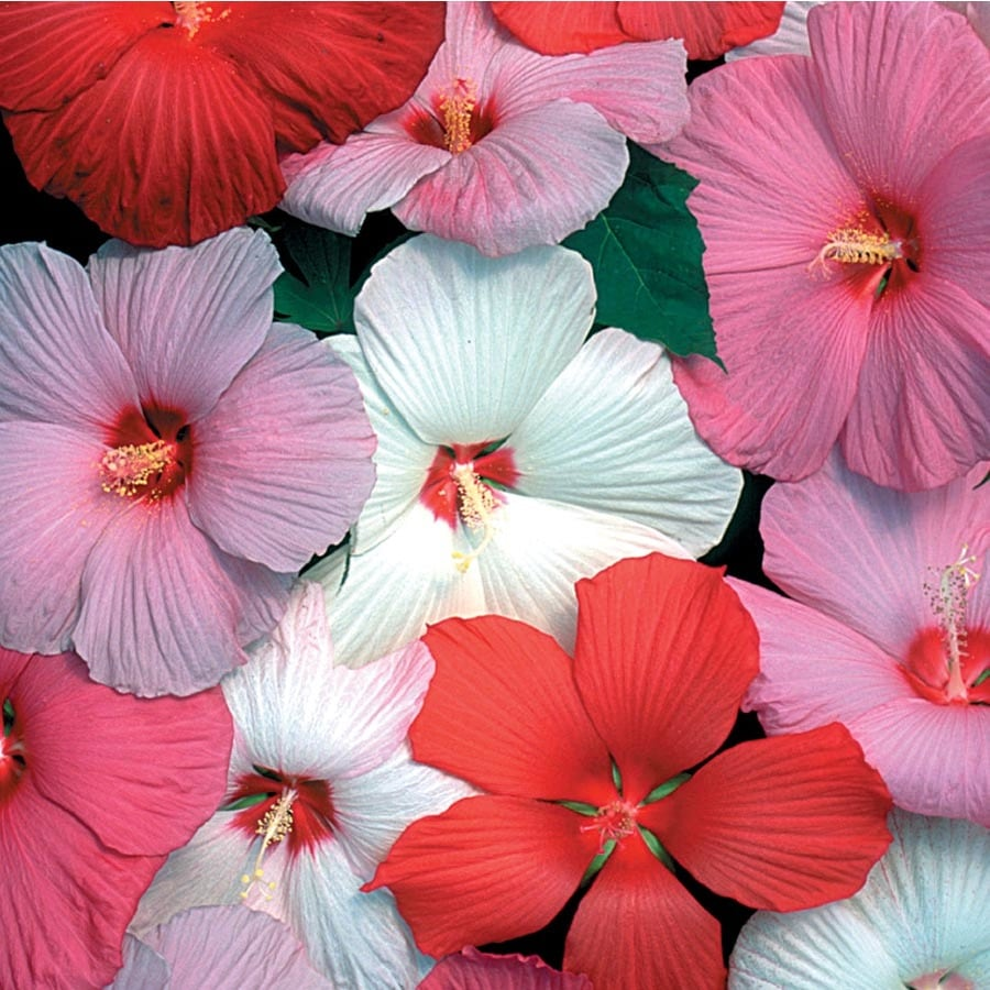 1.72-Gallon Hardy Hibiscus (L2556)