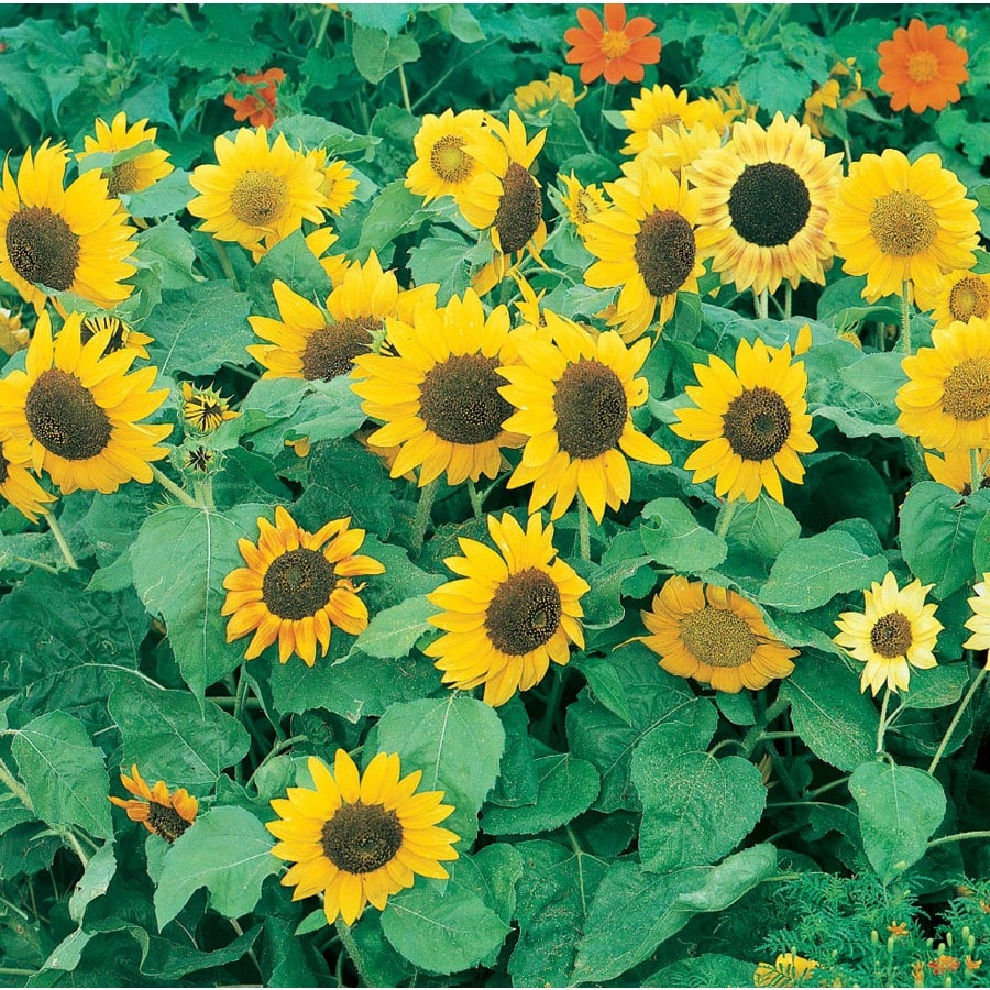 3.25-Gallon Planter Sunflower (L11281)