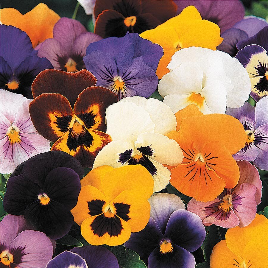 1.5-Gallon Pansy (L5048)