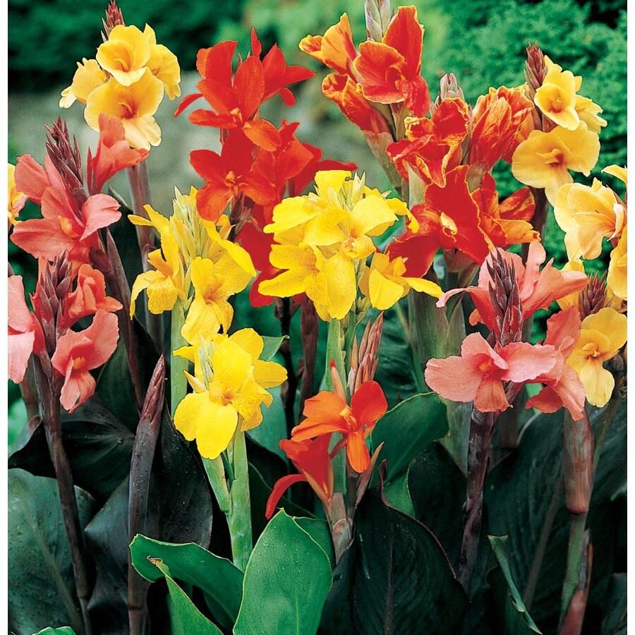 1.5-Gallon Mixed Canna Lily (Lb3461B)